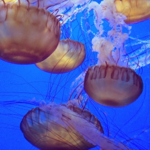 Mettle Jellies at the Monterey Bay Aquarium