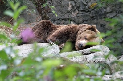 Brown bear at Woodland Park Zoo (June 2014)