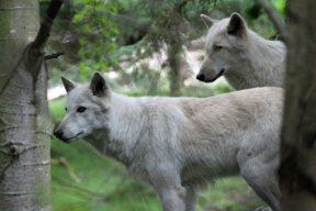 Gray wolves at Woodland Park Zoo (June 2014)