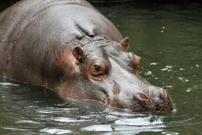 Hippo at Woodland Park Zoo (June 2014)