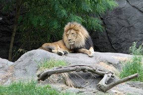 Lion at Woodland Park Zoo (June 2014)