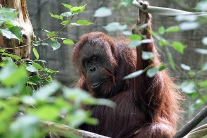 Orangutan at Woodland Park Zoo (June 2014)